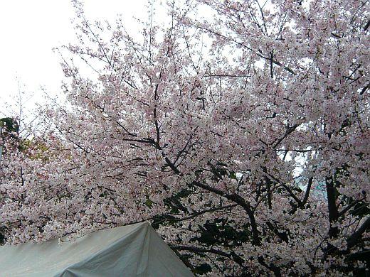 大坂城のサクラ2009