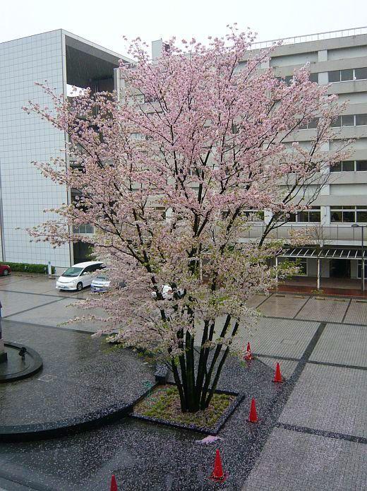 帝塚山大学のサクラの花2009
