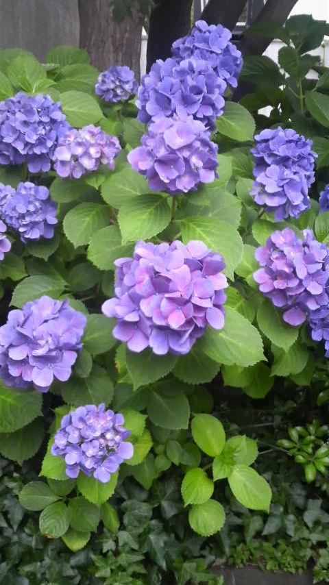 あじさいの花2009