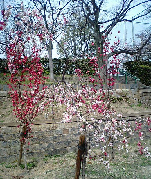 真田山公園のハナモモ2009