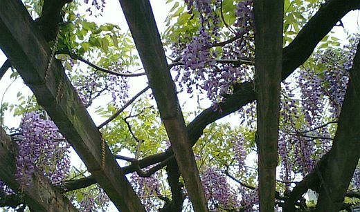 藤の花2009