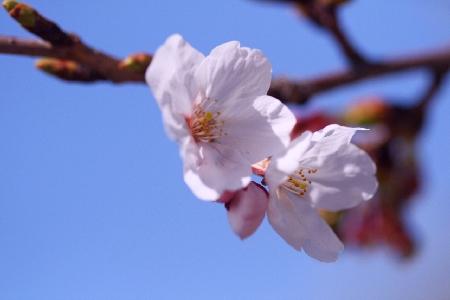 本日の桜00