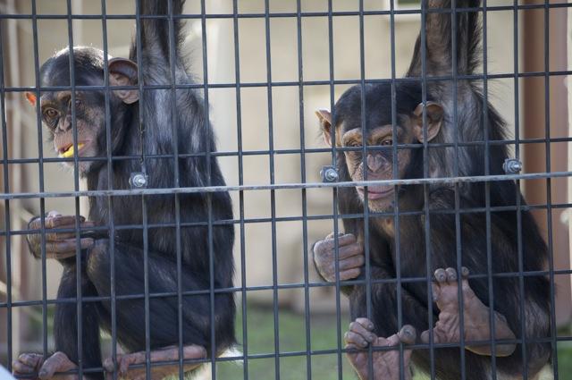 チンパンジー二人