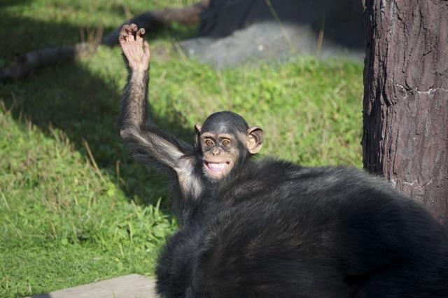チンパンジー手上げ