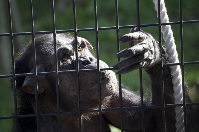 チンパンジー想う