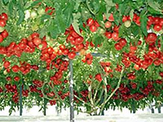 tomato.jpg