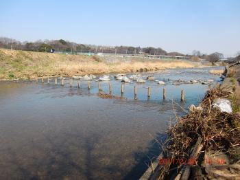 201110226きれいになった柳瀬川+053_convert_20110302232622