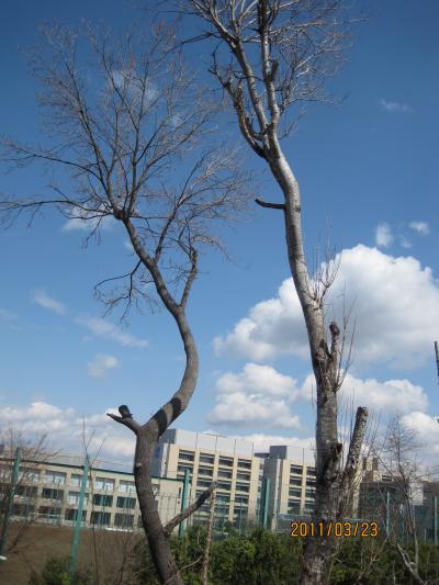 20110323+野塩崖線樹木+022_convert_20110328105830