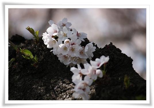 2011-04-13 小江戸~新河岸川~江戸 (14)