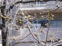 桜のつぼみも だいぶ膨らんできたなー