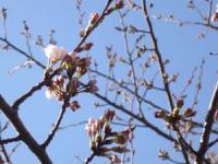 桜も咲き始めた