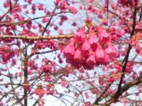 これも 桜