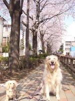 洗足流れの桜も 最高!!