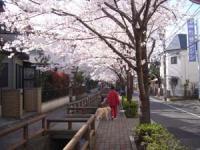 桜の下を歩けるのは 気持ちいいね