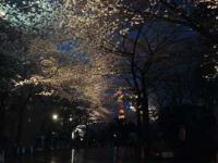 夜桜の向こうに東京タワー
