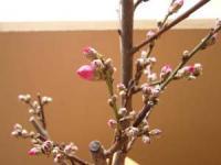 桃の花は もうちょっとで咲きそう