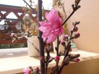 桃の花が咲きました (^^♪