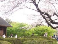 葉桜の河津桜と 満開のソメイヨシノ