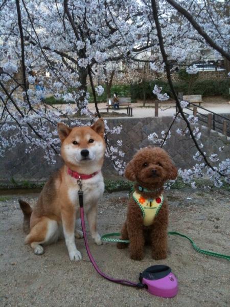 桜とワンズ①