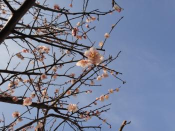 梅、咲き始めました