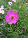 コスモスの花とミツバチさん
