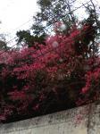 ヒカンザクラ(緋寒桜)
