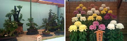 盆栽と菊花