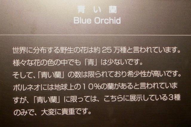 青い蘭の解説
