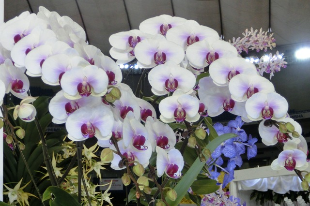 """Dtps.Hiro Candy Ace """"Kasukabe"""""""