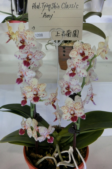 "Phal.Tying Classic ""Amy"""