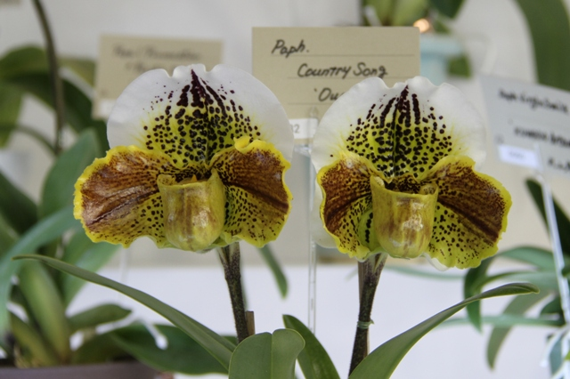 Paph Country Song