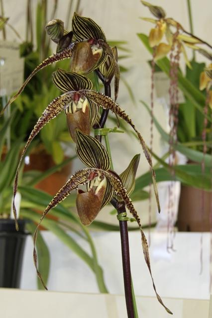 "Paph.(Angel Hair × Rothschildianum) ""Kawamoto"""