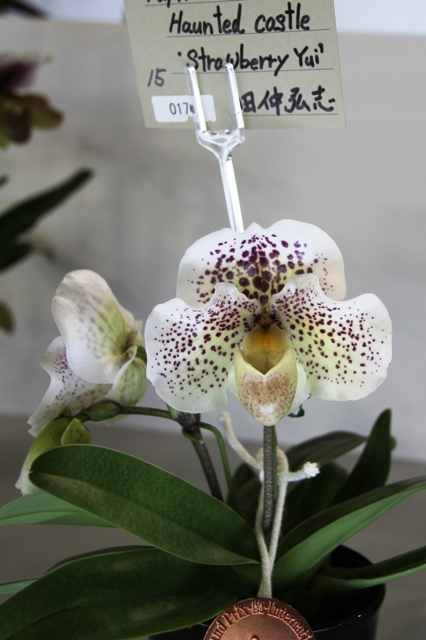 "Paph.Haunted Castle ""Strawberry Yui"""