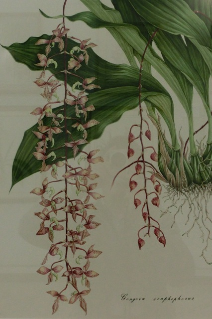 Gongora scaphephorus