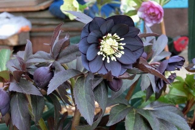 展示花ddブラック
