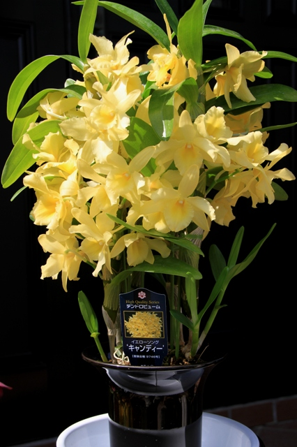 "Den.Yellow Song ""Candy"""