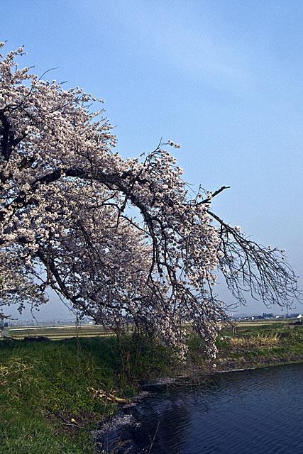 ikesakura