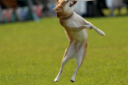 洋犬種と違って、独特のトリッキーなキャッチ!