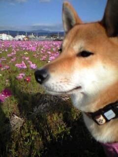柴犬とコスモス