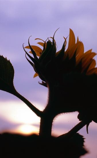 向日葵の毛
