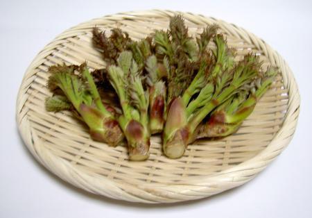 タラの芽の収穫