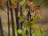 今年、冬に植えたヤマボウシの紅葉