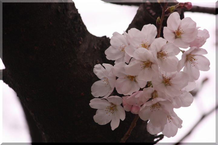 ~木間の桜