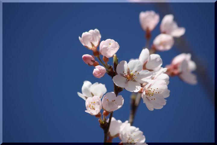 ~ 早咲きの桜2