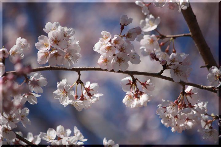 ~ 早咲きの桜4
