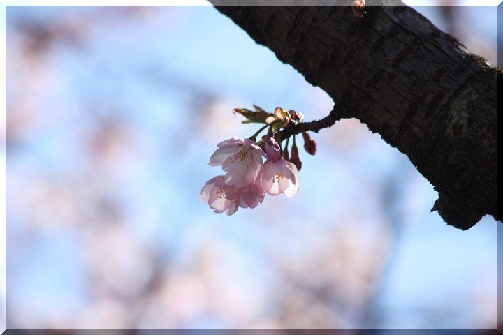 ~ 早咲きの桜6