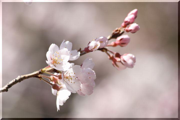 ~ 早咲きの桜7