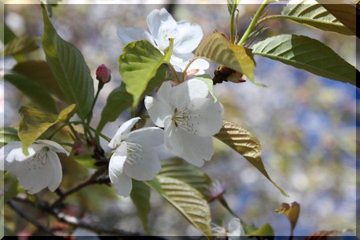 ~ 早咲きの桜8
