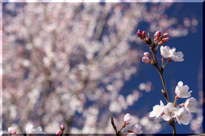 ~ 早咲きの桜9
