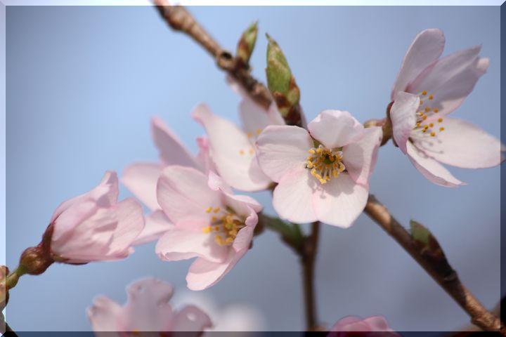 ~ 可児桜1